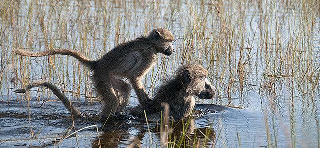 Ein Jahr in Botswana – im Bann der Affen